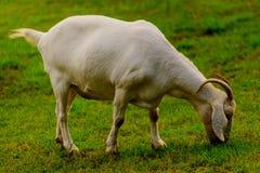 Brown e capra domestica bianco fotografie stock libere da diritti