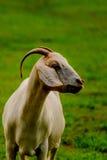 Brown e capra domestica bianco immagine stock