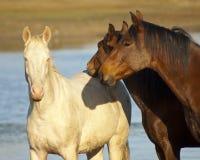 Brown e cavalli bianchi Fotografia Stock Libera da Diritti