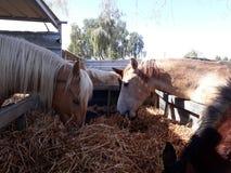 Brown e cavalli bianchi in una stalla immagine stock