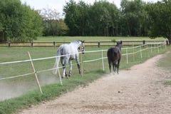 Brown e cavalli Macchia-grigi recintati su un prato, repubblica Ceca, Europa Fotografia Stock