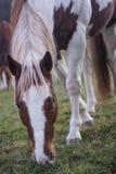 Brown e cavallo bianco che pascono Fotografie Stock