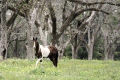 Brown e cavallo bianco del pinto che camminano nel boschetto del pecan fotografia stock