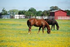 Brown e cavallo nero su un'azienda agricola che mangiano erba. Immagine Stock Libera da Diritti