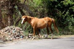 Brown e cavalo branco Fotografia de Stock