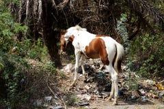 Brown e cavalo branco que movem-se na selva de um campo Foto de Stock Royalty Free