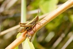 Brown e cricket verde Fotografia Stock