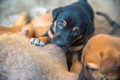 Brown e cuccioli neonati del nero che succhiano latte dalla cagna Fotografia Stock
