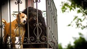 Brown e dogn nero sul balcone Fotografia Stock