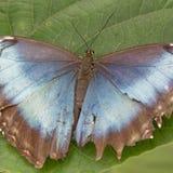 Brown e farfalla blu fotografie stock