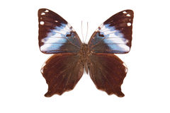 Brown e franquia azul de Prothoe da borboleta isolados imagens de stock royalty free