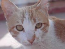 Brown e gatto bianco Immagine Stock Libera da Diritti