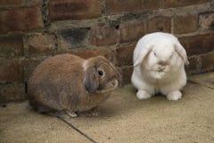 Brown e mini bianchi potano i conigli sulla terra Fotografia Stock