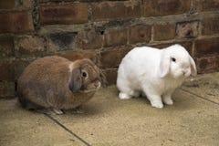 Brown e mini bianchi potano i conigli sulla terra Immagini Stock Libere da Diritti
