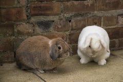 Brown e mini bianchi potano i conigli sulla terra Fotografie Stock