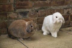 Brown e mini brancos podam coelhos na terra Imagens de Stock