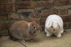 Brown e mini brancos podam coelhos na terra Fotos de Stock