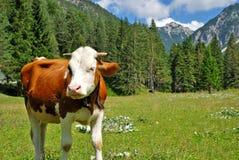 Brown e mucca bianca Fotografia Stock Libera da Diritti
