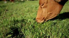 Brown e mucca bianca che pascono nei pascoli archivi video