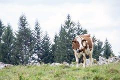 Brown e mucca bianca che pascono su un pascolo alpino Immagini Stock