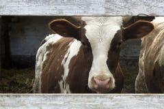 Brown e mucca bianca in un'azienda agricola Guardando tramite un recinto di legno fotografia stock