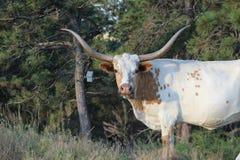 Brown e mucca lunga bianca del corno Fotografie Stock Libere da Diritti