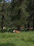 Brown e mucca macchiata bianco che pascolano nelle terre di pascolo: Paesaggio italiano delle alpi delle dolomia Fotografia Stock Libera da Diritti