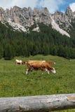 Brown e mucche bianche che pascolano nelle terre di pascolo: Paesaggio italiano delle alpi delle dolomia Fotografia Stock Libera da Diritti
