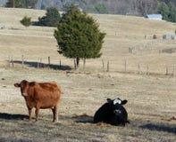 Brown e mucche nere dell'azienda agricola Fotografie Stock Libere da Diritti