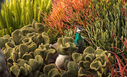 Brown e muticus femminile del pavone del pavone di verde Immagine Stock Libera da Diritti