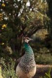 Brown e muticus femminile del pavone del pavone di verde Immagini Stock