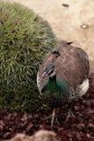 Brown e muticus femminile del pavone del pavone di verde Fotografie Stock Libere da Diritti