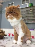 Brown e o gato persa oxidado branco com um leão cortaram o gato orgulhoso do fundo do vintage imagem de stock
