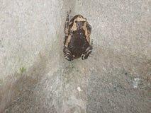 Brown e o sapo bege aderem-se a uma parede do bloco de cimento Fotografia de Stock Royalty Free
