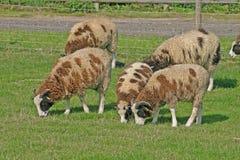 Brown e pecore bianche Immagine Stock