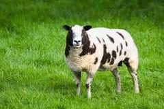Brown e pecore macchiate bianche Immagini Stock Libere da Diritti