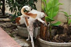 Brown e pipi tailandese bianca del cane nella casa laterale vicino al banano fotografia stock