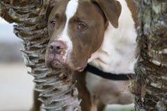 Brown e Pit Bull Mix Peeking Through branco as árvores fotos de stock royalty free