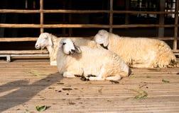 Brown e sonno bianco delle pecore del gruppo Fotografia Stock Libera da Diritti