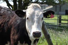 Brown e touro branco Imagens de Stock Royalty Free