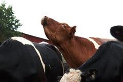 Brown e vaca branca que esticam seu pescoço fotografia de stock royalty free