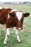 Brown e vaca branca que pastam no pasto Imagem de Stock