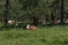 Brown e vaca manchada branco que pastam em terras de pastagem: Italiano Imagens de Stock Royalty Free