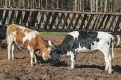 Brown e vacas preto-brancas na vila perto da cerca - campo do russo Fotografia de Stock