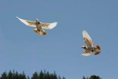 Brown e volo bianco del piccione Fotografia Stock