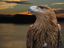 Brown eagle. In the sunset Royalty Free Stock Image