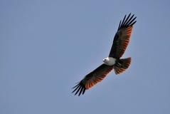 Brown Eagle Royalty Free Stock Photos