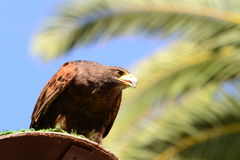 Brown Eagle Stockbild