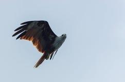 Brown Eagle Foto de archivo