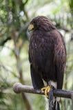 Brown Eagle Lizenzfreies Stockfoto